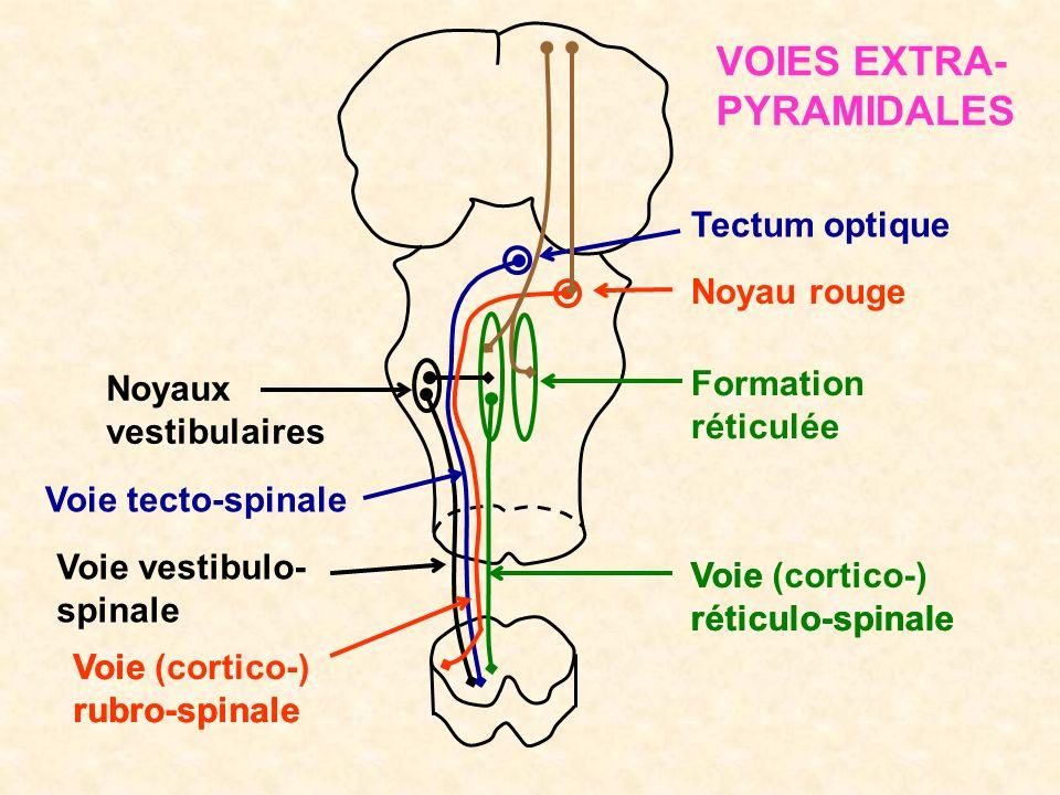 Noyaux vestibulaires Formation réticulée Tectum optique Noyau rouge Voie tecto-spinale Voie vestibulo- spinale Voie rubro-spinale Voie (cortico-) rubr