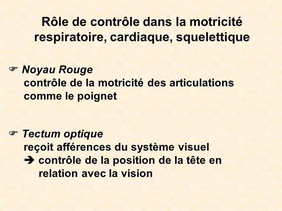 Rôle de contrôle dans la motricité respiratoire, cardiaque, squelettique Noyau Rouge contrôle de la motricité des articulations comme le poignet Tectu