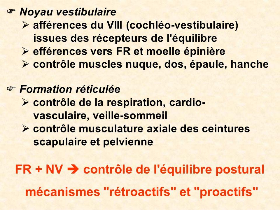 Noyau vestibulaire afférences du VIII (cochléo-vestibulaire) issues des récepteurs de l'équilibre efférences vers FR et moelle épinière contrôle muscl