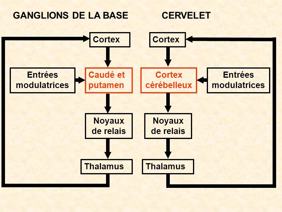 GANGLIONS DE LA BASECERVELET Cortex Caudé et putamen Cortex cérébelleux Noyaux de relais Thalamus Entrées modulatrices