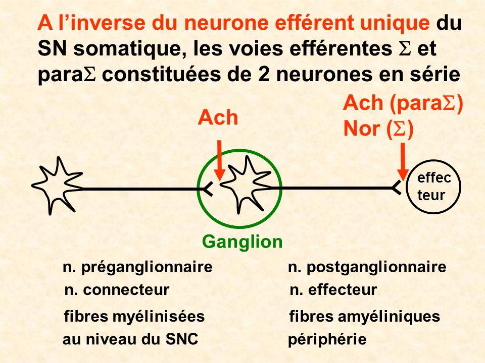 A linverse du neurone efférent unique du SN somatique, les voies efférentes et para constituées de 2 neurones en série effec teur Ganglion n. prégangl