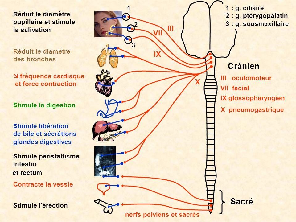 Crânien Sacré Réduit le diamètre pupillaire et stimule la salivation Réduit le diamètre des bronches fréquence cardiaque et force contraction Stimule