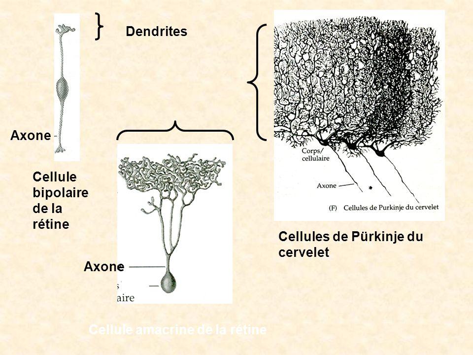 Cellules de Pürkinje du cervelet Cellule bipolaire de la rétine Cellule amacrine de la rétine Dendrites Axone