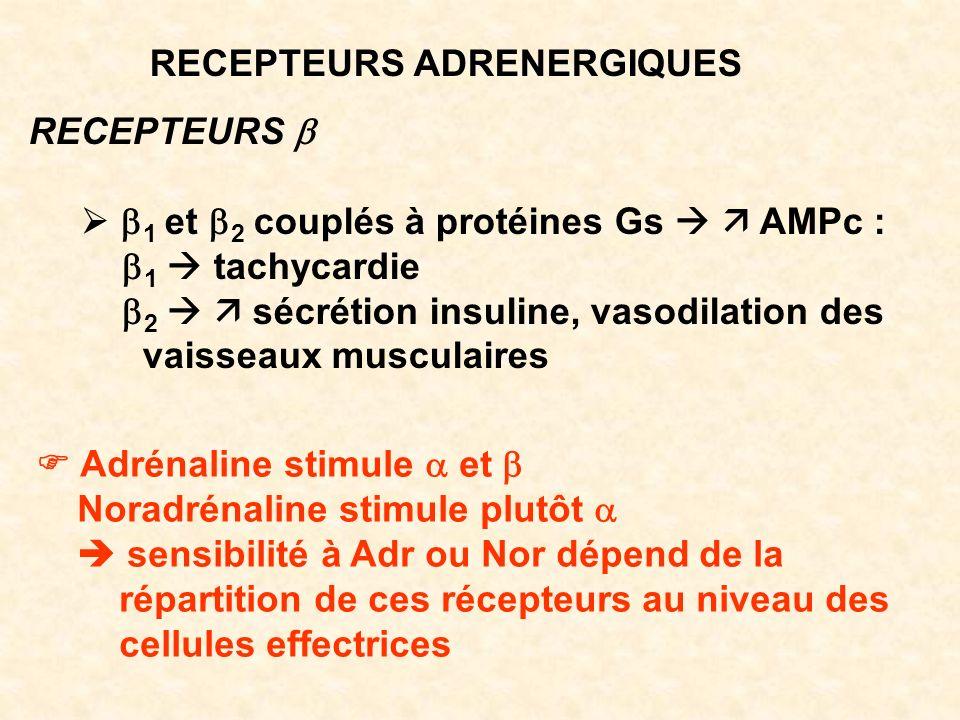 RECEPTEURS ADRENERGIQUES RECEPTEURS 1 et 2 couplés à protéines Gs AMPc : 1 tachycardie 2 sécrétion insuline, vasodilation des vaisseaux musculaires Ad