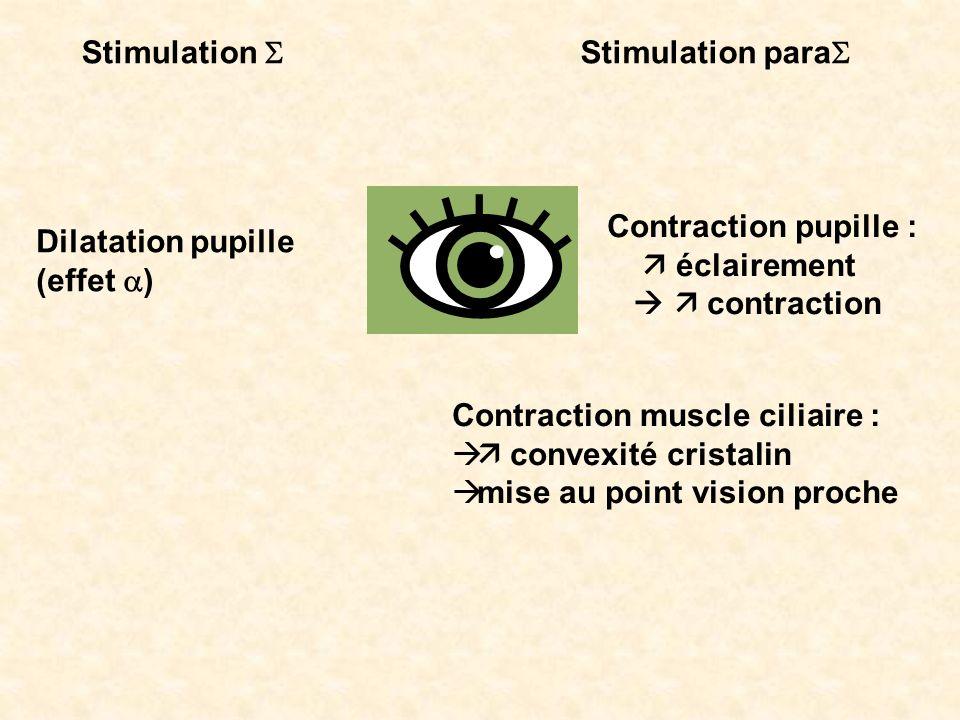 Stimulation Stimulation para Dilatation pupille (effet ) Contraction pupille : éclairement contraction Contraction muscle ciliaire : convexité cristal
