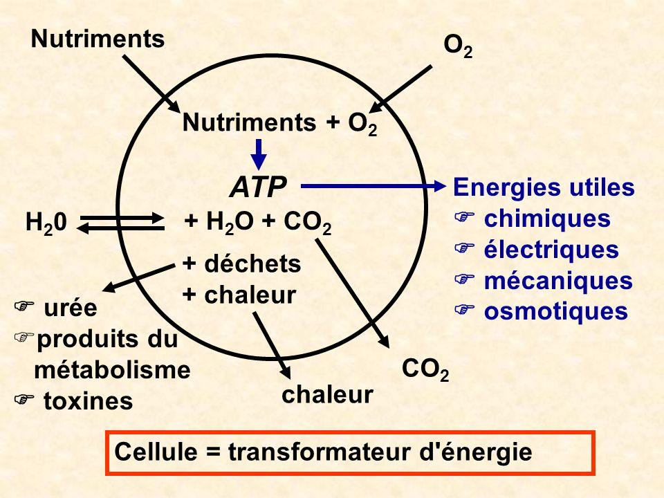 Cellule = transformateur d'énergie Nutriments + O 2 ATP + H 2 O + CO 2 + déchets + chaleur O2O2 Nutriments CO 2 H20H20 Energies utiles chimiques élect