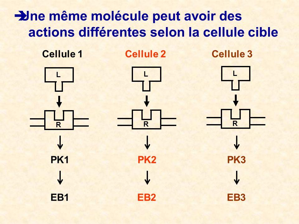 EB1 Une même molécule peut avoir des actions différentes selon la cellule cible Cellule 1Cellule 2Cellule 3 PK1PK3PK2 EB3EB2 R L R L R L