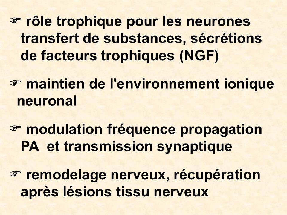 rôle trophique pour les neurones transfert de substances, sécrétions de facteurs trophiques (NGF) maintien de l'environnement ionique neuronal modulat