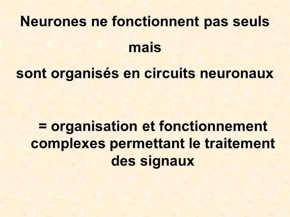 Neurones ne fonctionnent pas seuls mais sont organisés en circuits neuronaux = organisation et fonctionnement complexes permettant le traitement des s