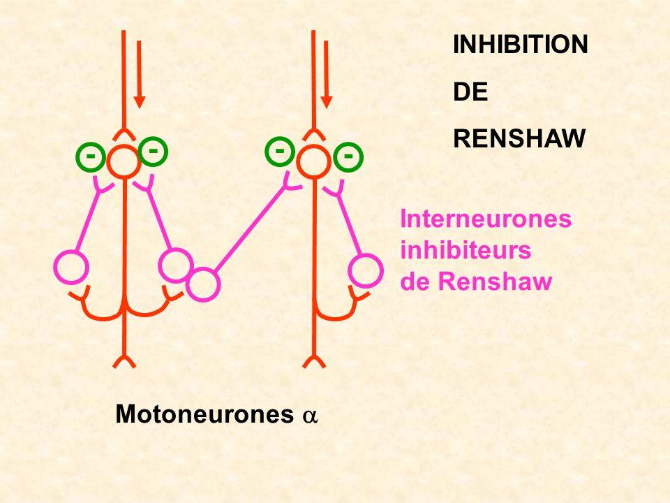 Motoneurones INHIBITION DE RENSHAW - Interneurones inhibiteurs de Renshaw -- -