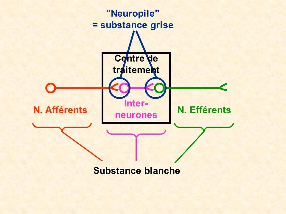 N. AfférentsN. Efférents Inter- neurones