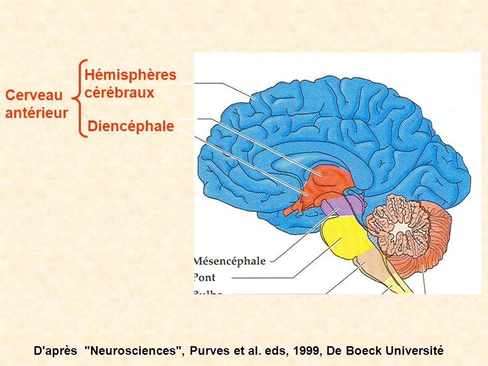 Hémisphères cérébraux Diencéphale Cerveau antérieur D'après