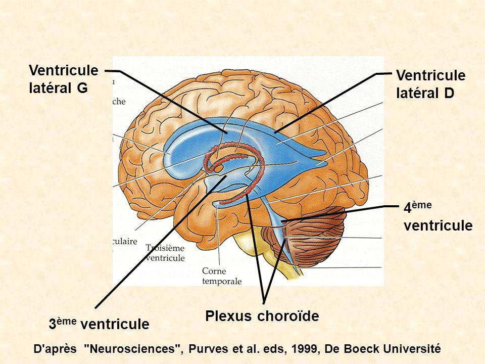 Ventricule latéral G Ventricule latéral D 3 ème ventricule Plexus choroïde 4 ème ventricule D'après