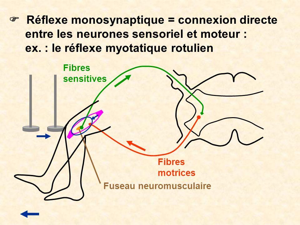 Réflexe monosynaptique = connexion directe entre les neurones sensoriel et moteur : ex. : le réflexe myotatique rotulien Fuseau neuromusculaire Fibres