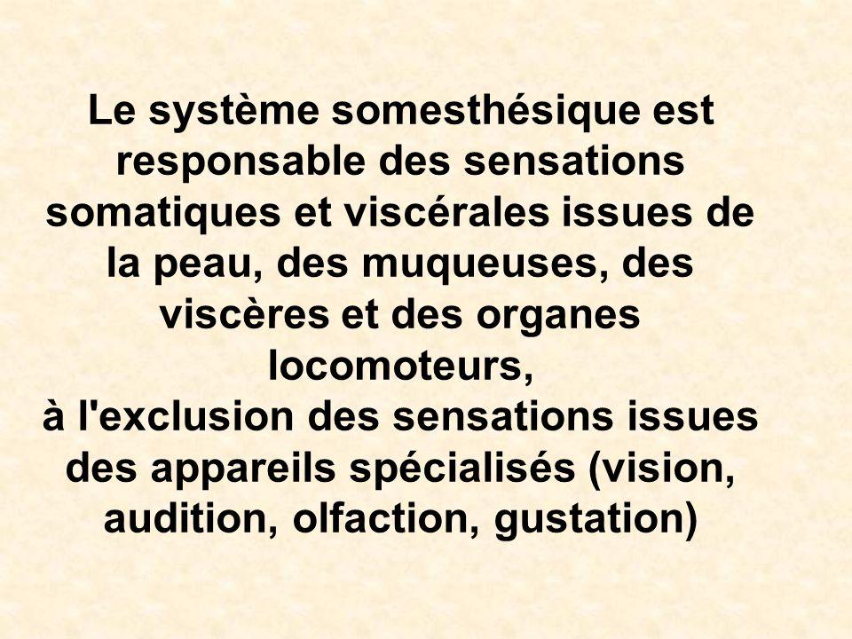 Le système somesthésique est responsable des sensations somatiques et viscérales issues de la peau, des muqueuses, des viscères et des organes locomot