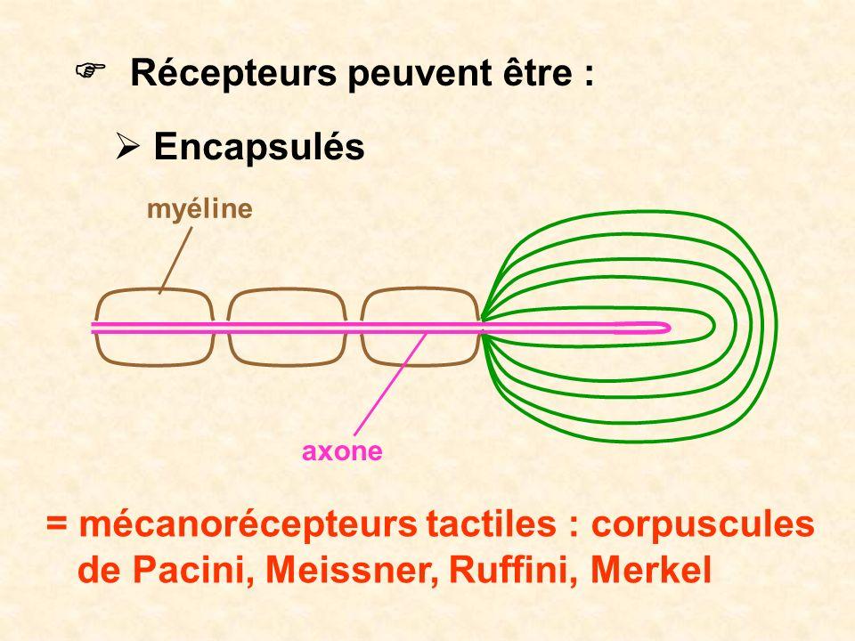 Récepteurs peuvent être : Encapsulés axone myéline = mécanorécepteurs tactiles : corpuscules de Pacini, Meissner, Ruffini, Merkel