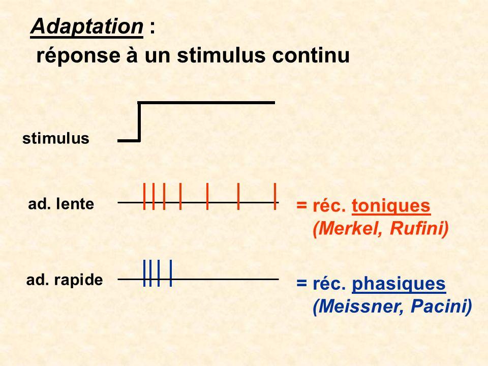 Adaptation : réponse à un stimulus continu stimulus ad. lente ad. rapide = réc. toniques (Merkel, Rufini) = réc. phasiques (Meissner, Pacini)