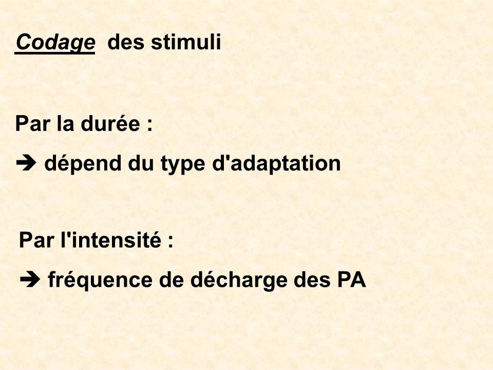 Codage des stimuli Par la durée : dépend du type d'adaptation Par l'intensité : fréquence de décharge des PA