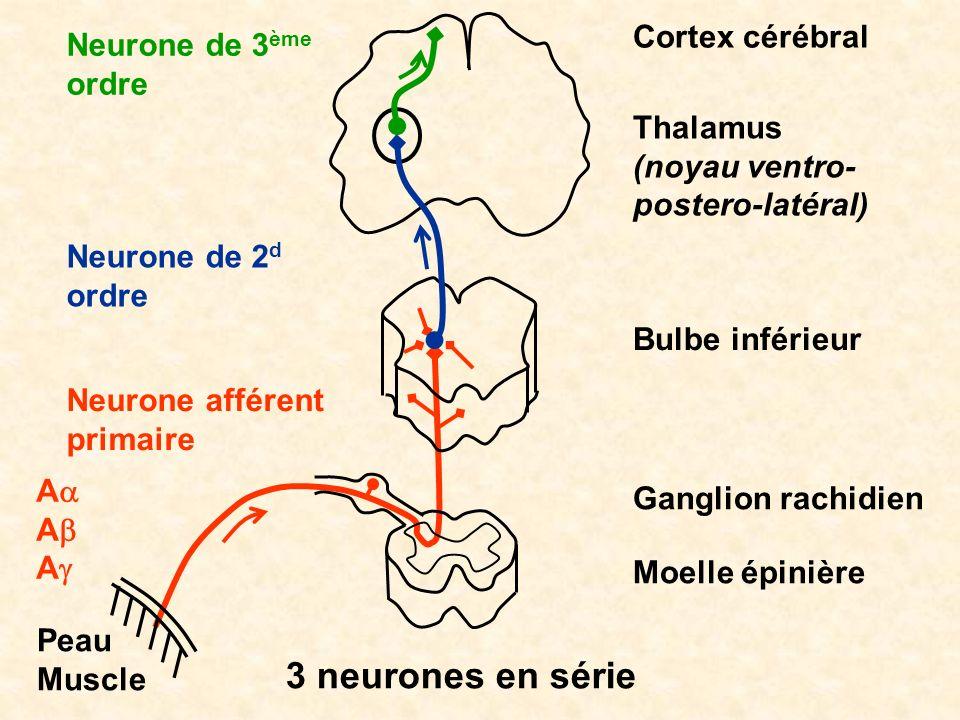 3 neurones en série Moelle épinière Bulbe inférieur Thalamus (noyau ventro- postero-latéral) Cortex cérébral Peau Muscle Ganglion rachidien Neurone af