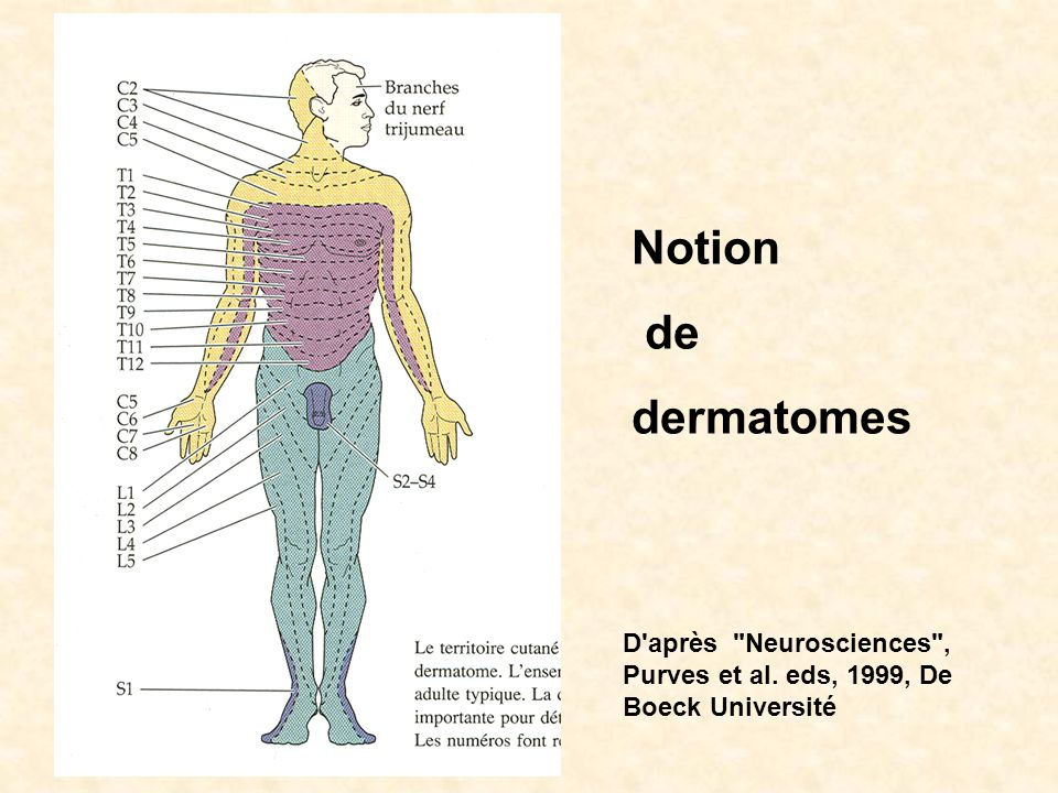 Notion de dermatomes D'après