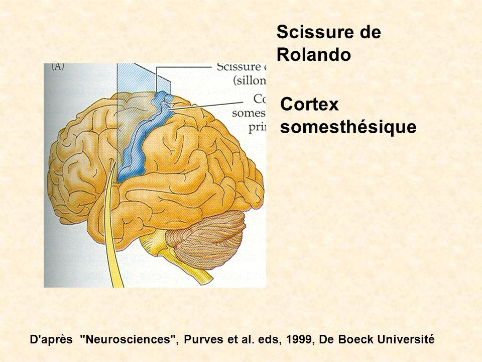 Scissure de Rolando Cortex somesthésique D'après