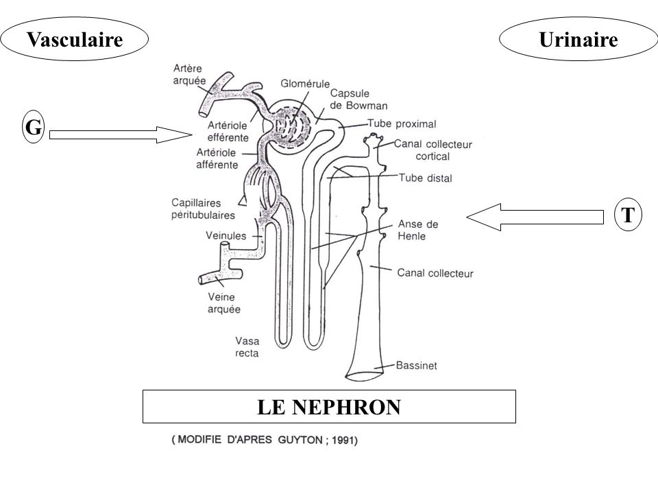 VasculaireUrinaire G T LE NEPHRON