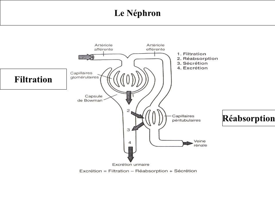 Le Néphron Filtration Réabsorption