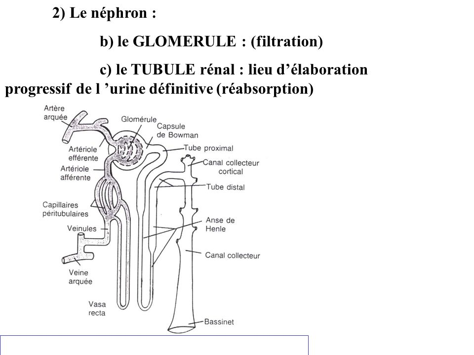 2) Le néphron : b) le GLOMERULE : (filtration) c) le TUBULE rénal : lieu délaboration progressif de l urine définitive (réabsorption)