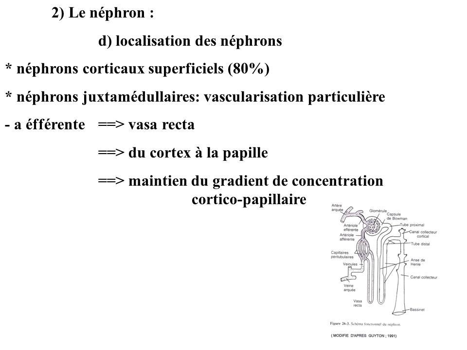 2) Le néphron : d) localisation des néphrons * néphrons corticaux superficiels (80%) * néphrons juxtamédullaires: vascularisation particulière - a éfférente ==> vasa recta ==> du cortex à la papille ==> maintien du gradient de concentration cortico-papillaire