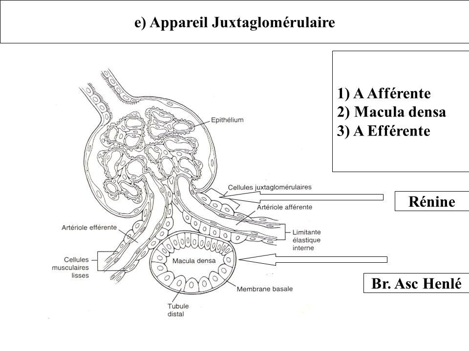 e) Appareil Juxtaglomérulaire 1) A Afférente 2) Macula densa 3) A Efférente Rénine Br. Asc Henlé