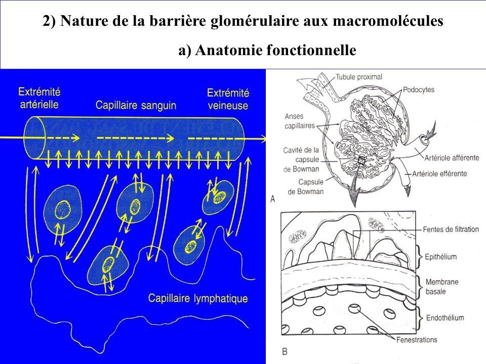 2) Nature de la barrière glomérulaire aux macromolécules a) Anatomie fonctionnelle