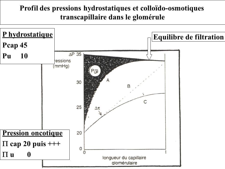 Profil des pressions hydrostatiques et colloïdo-osmotiques transcapillaire dans le glomérule Equilibre de filtration P hydrostatique Pcap 45 Pu 10 Pre