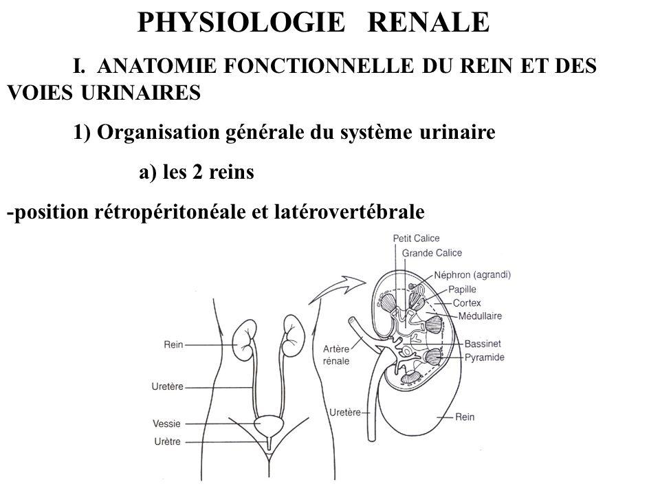 PHYSIOLOGIE RENALE I. ANATOMIE FONCTIONNELLE DU REIN ET DES VOIES URINAIRES 1) Organisation générale du système urinaire a) les 2 reins -position rétr