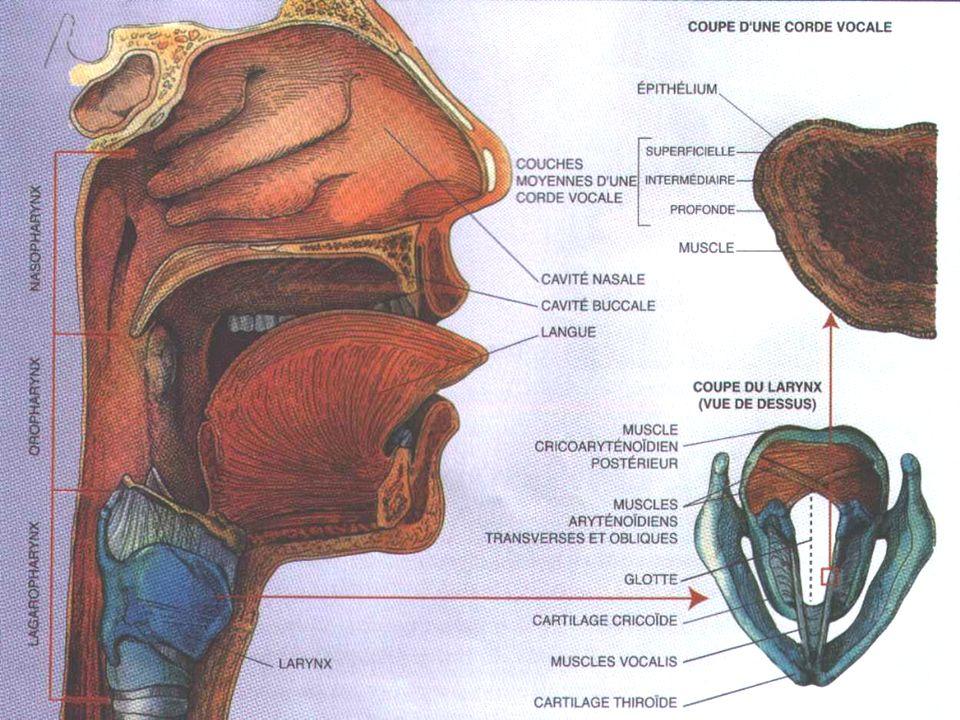 2- le larynx Anatomie cartilages : thyroïde, cricoïde, arythénoïdes muscles : thyro-arythénodien (corde vocale), crico-arythénoïdien (hauteur du son)