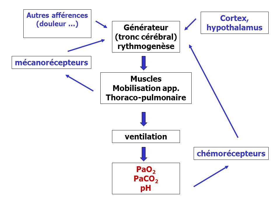 Anatomie fonctionnelle 1- les centres respiratoires a le bulbe : contient le centre respiratoire b le pont 2- la moelle motoneurones alpha (corne antérieure) reçoivent les influx élaborés par les centres 3- les muscles respiratoires = effecteurs a m.