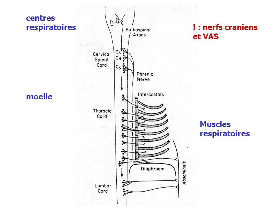 Modulation de la ventilation les récepteurs et boucles réflexes Les récepteurs broncho - pulmonaires Les récepteurs J ou juxta-capillaires dans les parois alvéolaires adjacentes aux capillaires nerfs vagues.