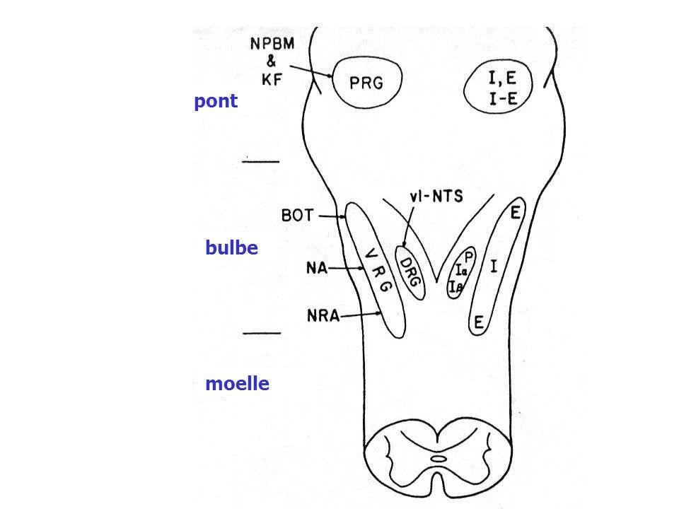 Modulation de la ventilation les récepteurs et boucles réflexes Autres récepteurs Récepteurs du nez et des VAS responsable de toux, éternuement, spasme laryngé...