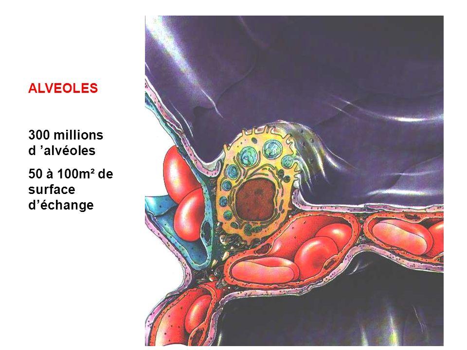 ALVEOLES 300 millions d alvéoles 50 à 100m² de surface déchange