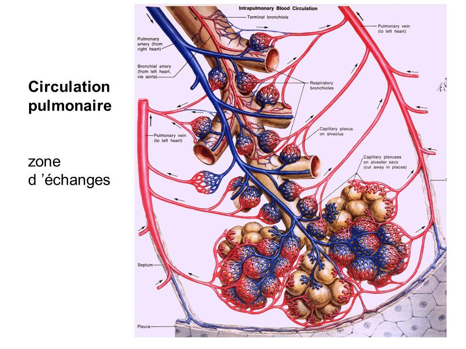 Circulation pulmonaire zone d échanges