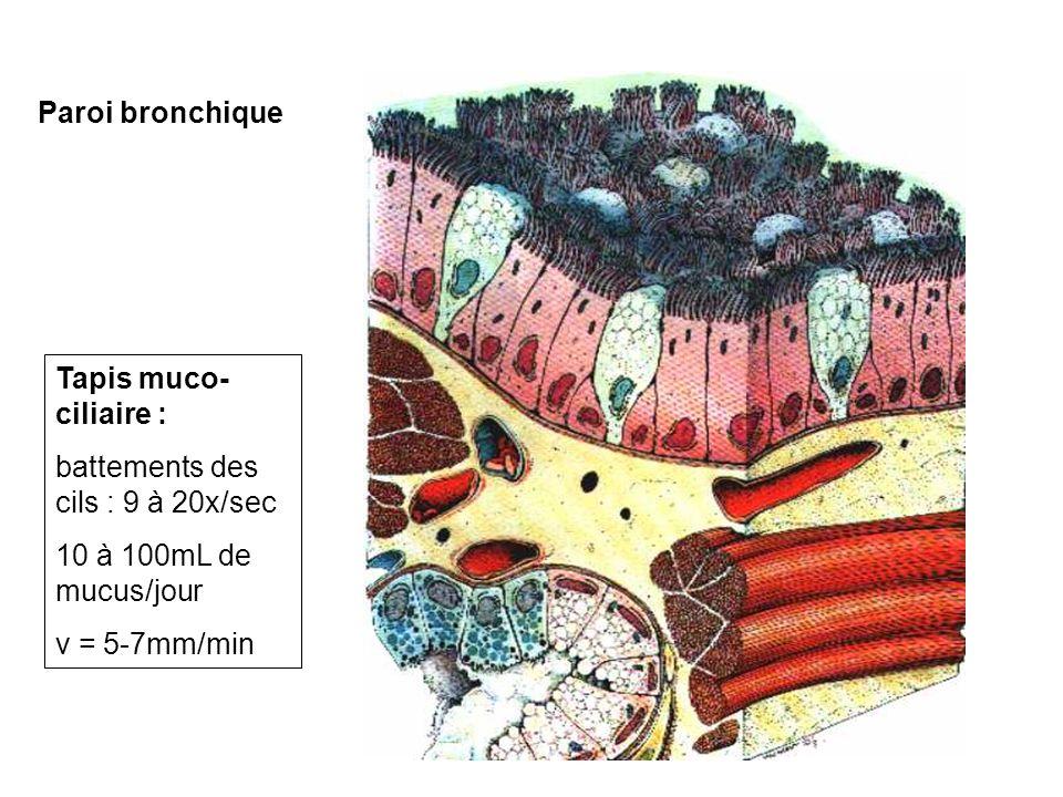 Paroi bronchique Tapis muco- ciliaire : battements des cils : 9 à 20x/sec 10 à 100mL de mucus/jour v = 5-7mm/min