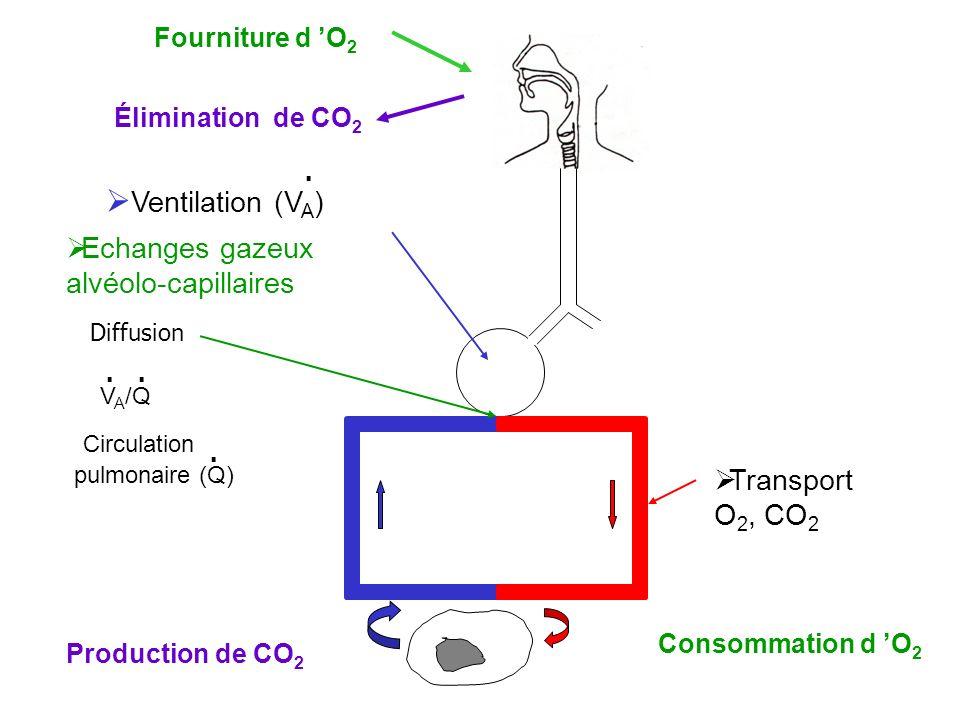 Ventilation (V A ) Echanges gazeux alvéolo-capillaires Transport O 2, CO 2 Circulation pulmonaire (Q) V A /Q Fourniture d O 2 Consommation d O 2 Élimi