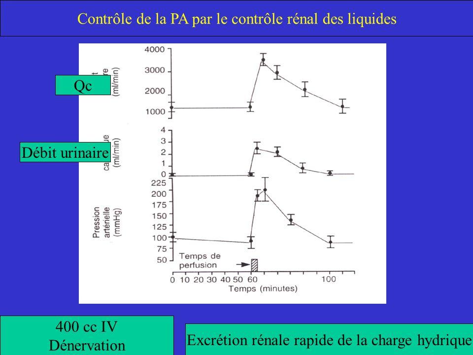 400 cc IV Dénervation Excrétion rénale rapide de la charge hydrique Qc Débit urinaire Contrôle de la PA par le contrôle rénal des liquides