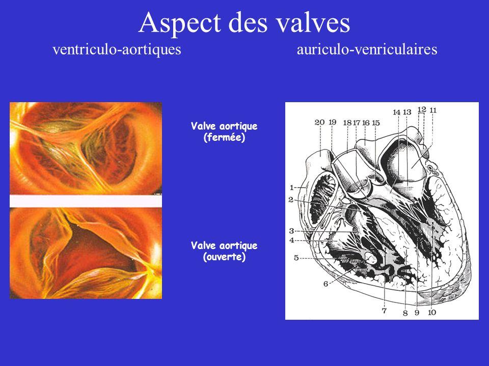 Aspect des valves ventriculo-aortiquesauriculo-venriculaires Valve aortique (fermée) Valve aortique (ouverte)