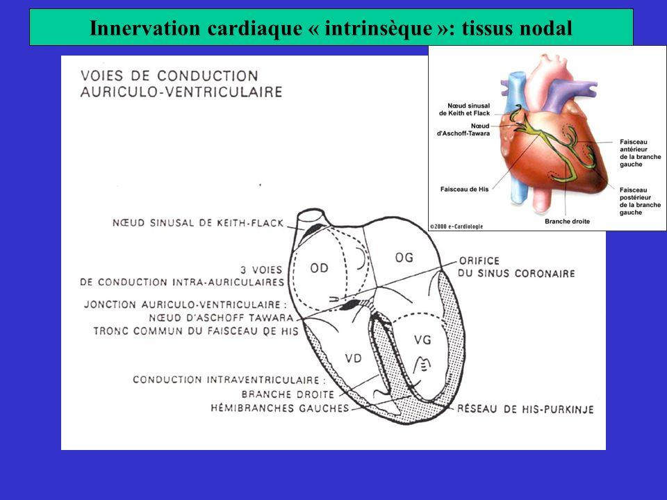Innervation cardiaque « intrinsèque »: tissus nodal