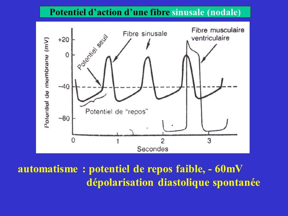 Potentiel daction dune fibre sinusale (nodale) automatisme : potentiel de repos faible, - 60mV dépolarisation diastolique spontanée