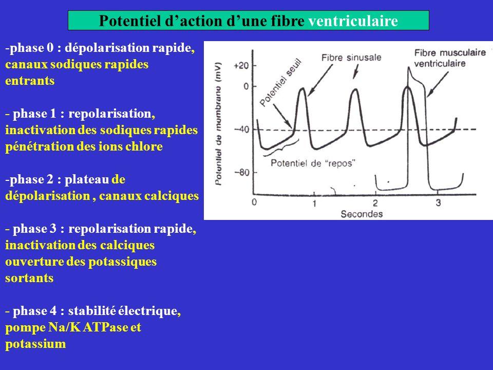 Potentiel daction dune fibre ventriculaire -phase 0 : dépolarisation rapide, canaux sodiques rapides entrants - phase 1 : repolarisation, inactivation