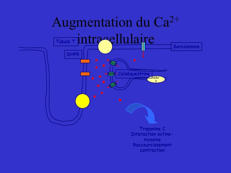 Augmentation du Ca 2+ intracellulaire SERC A Calséquestrine Tubule T DHPR Sarcolemme Troponine C Interaction actine- myosine Raccourcissement contract