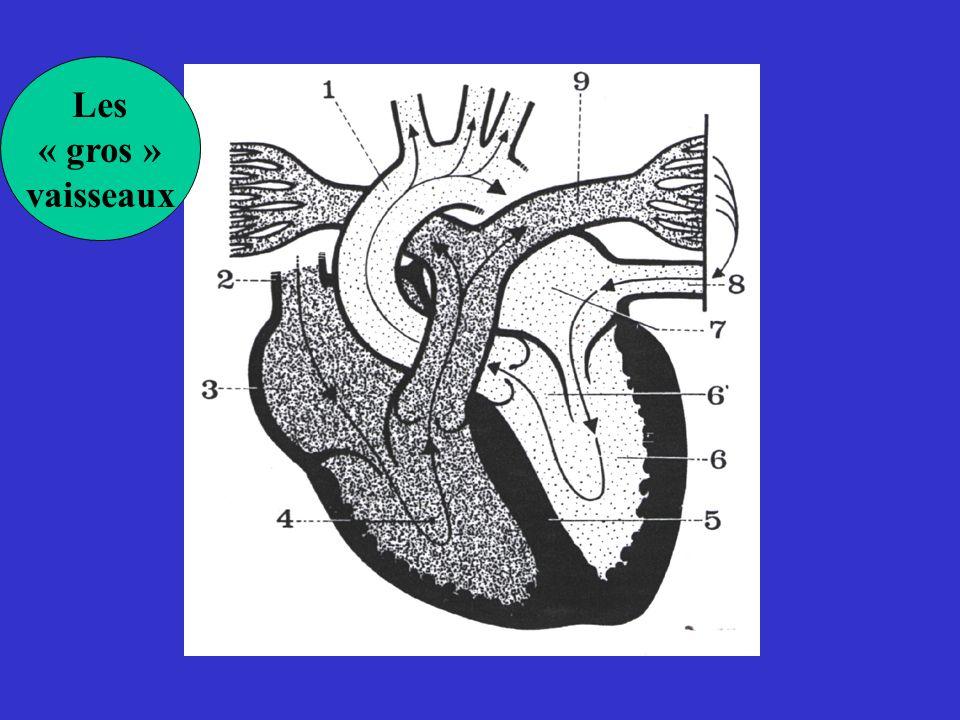 Les trois phases de lactivation ventriculaire