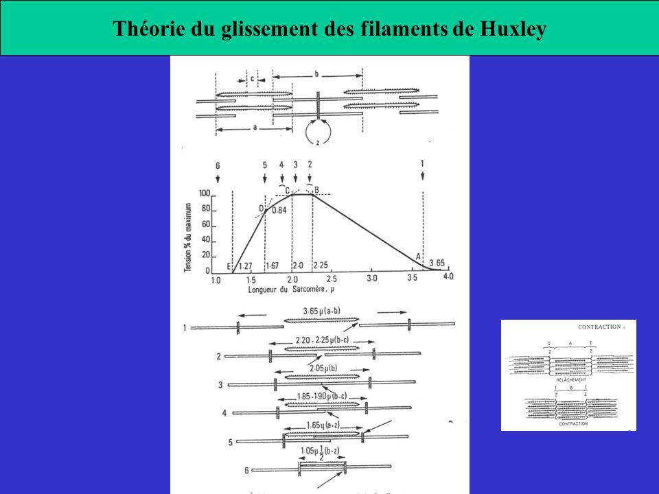 Théorie du glissement des filaments de Huxley