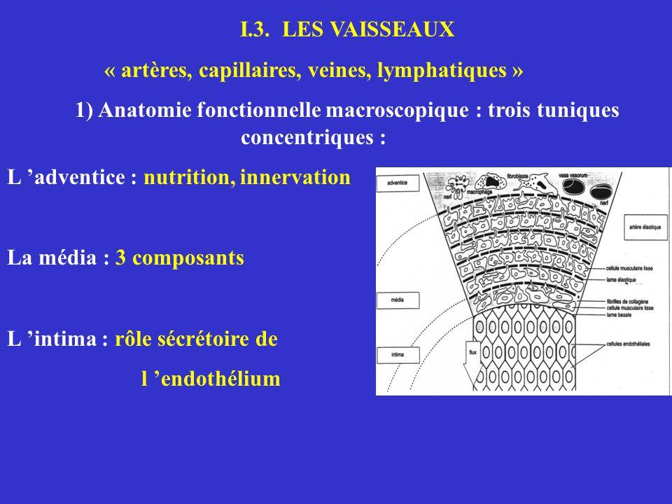 I.3. LES VAISSEAUX « artères, capillaires, veines, lymphatiques » 1) Anatomie fonctionnelle macroscopique : trois tuniques concentriques : L adventice
